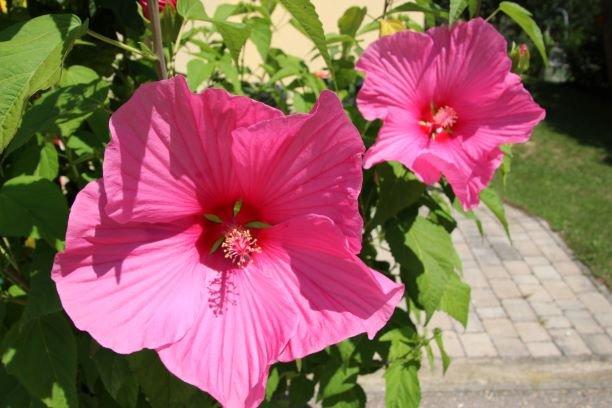 blueten-hibiskus